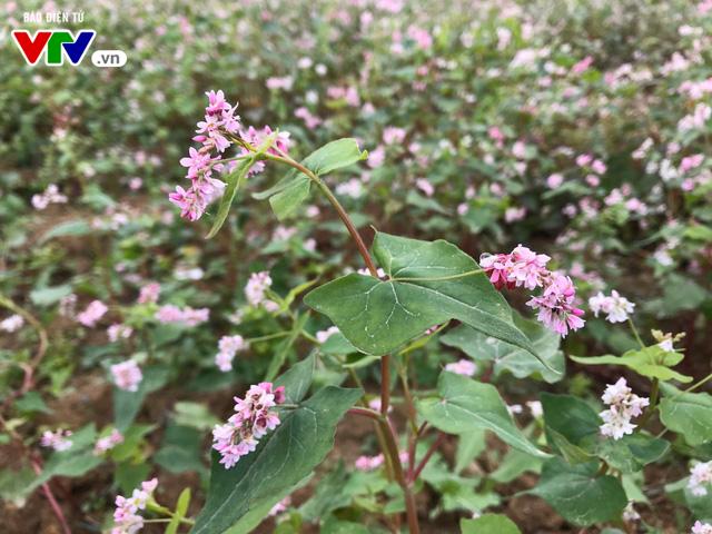 Ngắm hoa tam giác mạch Hà Giang trước ngày khai hội - Ảnh 3.