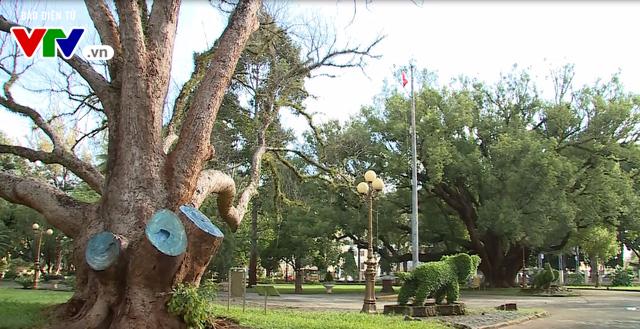 Đắk Lắk: Cây di sản 100 năm tuổi bị chết khô - Ảnh 1.