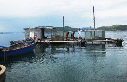 Bắt đầu khôi phục vùng nuôi tôm hùm Phú Yên