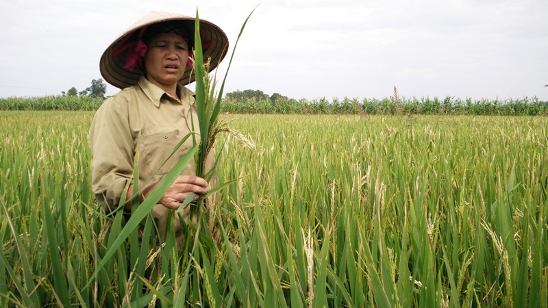 Dịch rầy nâu bùng phát trên lúa ở Quảng Trị