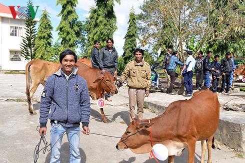 Tặng bò cho nông dân nghèo tỉnh Lâm Đồng - Ảnh 2.