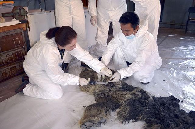 Xác tê giác chôn vùi 34.000 năm dưới lớp băng tuyết còn nguyên lông và sừng - Ảnh 1.