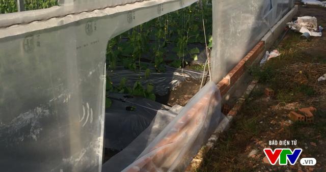 Hàng nghìn gốc dưa sạch bị phá hoại tan hoang - Ảnh 3.