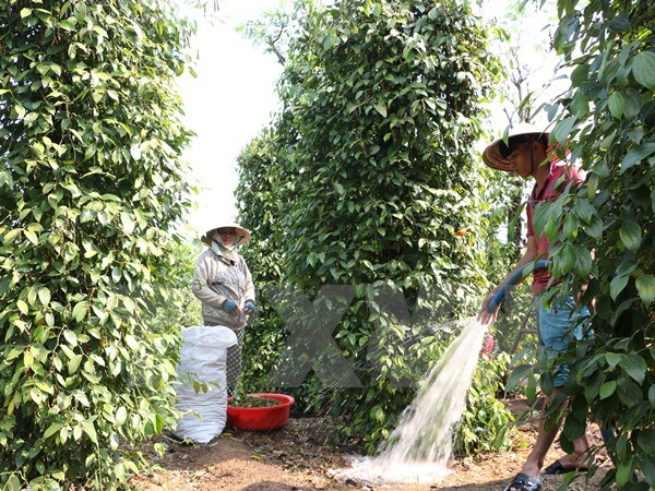 Thực hư chuyện thương nhân nước ngoài thao túng thị trường hồ tiêu Việt