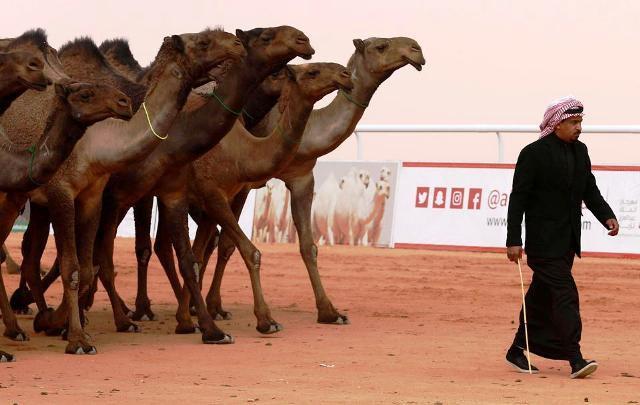 Cuộc thi lạc đà đẹp nhất tại Saudi Arabia - Ảnh 3.