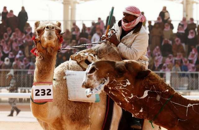 Cuộc thi lạc đà đẹp nhất tại Saudi Arabia - Ảnh 2.