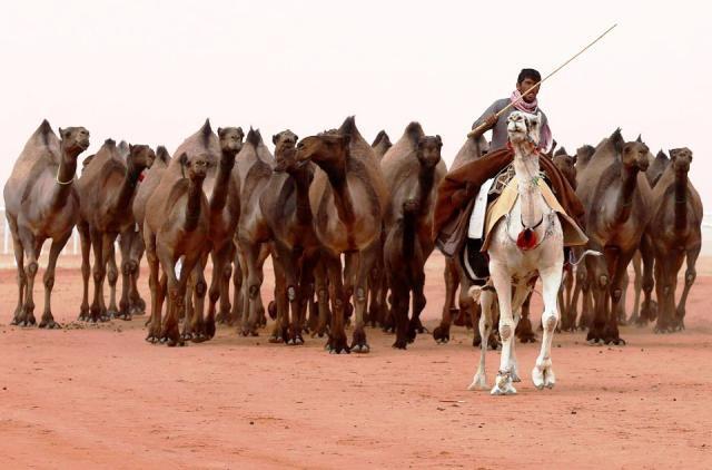Cuộc thi lạc đà đẹp nhất tại Saudi Arabia - Ảnh 1.