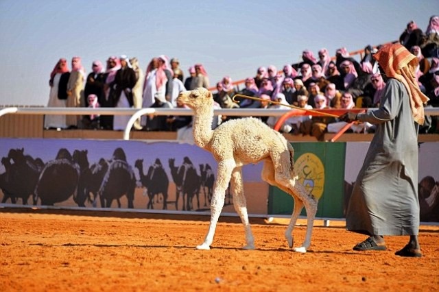 Cuộc thi lạc đà đẹp nhất tại Saudi Arabia - Ảnh 5.
