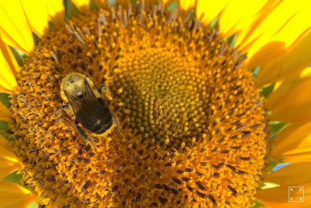 Phấn hoa hướng dương bảo vệ loài ong - Ảnh 1.