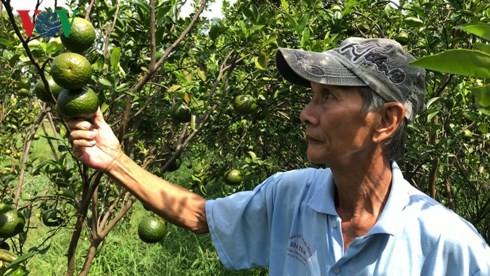 Nông dân ĐBSCL điêu đứng vì giá cam sành giảm sâu - Ảnh 1.