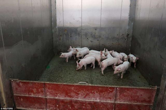 Bên trong khách sạn cao 7 tầng ở Trung Quốc chuyên để... chăn lợn - Ảnh 4.