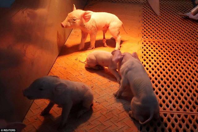 Bên trong khách sạn cao 7 tầng ở Trung Quốc chuyên để... chăn lợn - Ảnh 6.