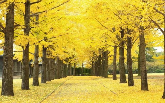 Những địa điểm ngắm lá vàng lá đỏ nổi tiếng nhất nước Nhật - Ảnh 1.