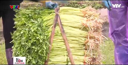 Thực tế trồng rau cần theo tiêu chuẩn VietGAP