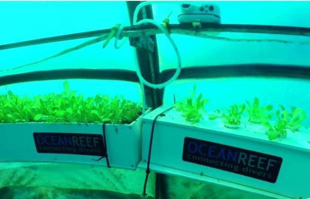 Dự án trồng rau dưới biển đối phó với biến đổi khí hậu - Ảnh 4.
