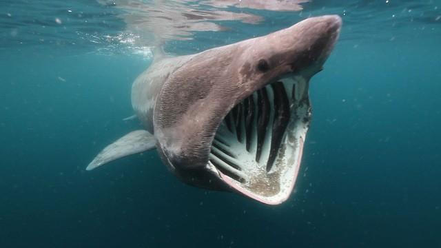 Hàng trăm con cá nhám khổng lồ tập trung thành các bầy bí ẩn - Ảnh 1.