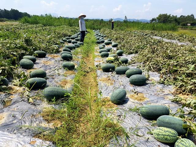 """Nghịch lý """"giải cứu"""" - nhập khẩu nông sản - Ảnh 1."""