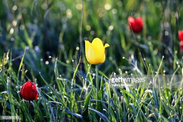 Hoa tulip hoang dã - Biểu tượng sống của thảo nguyên châu Âu - Ảnh 1.