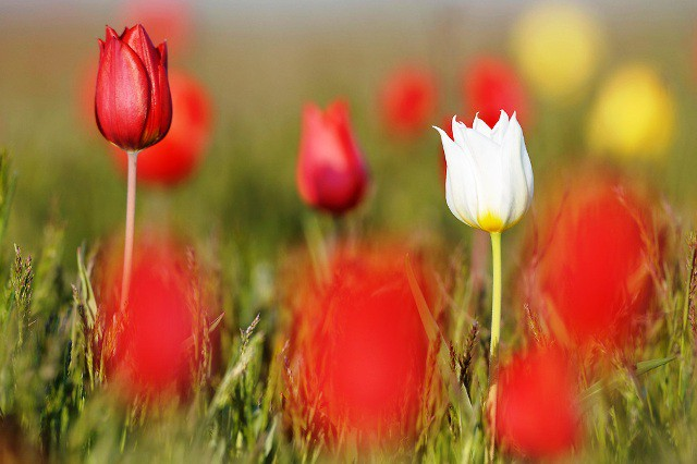 Hoa tulip hoang dã - Biểu tượng sống của thảo nguyên châu Âu - Ảnh 2.
