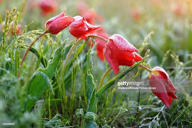 Hoa tulip hoang dã - Biểu tượng sống của thảo nguyên châu Âu - Ảnh 4.