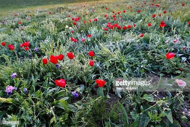Hoa tulip hoang dã - Biểu tượng sống của thảo nguyên châu Âu - Ảnh 5.