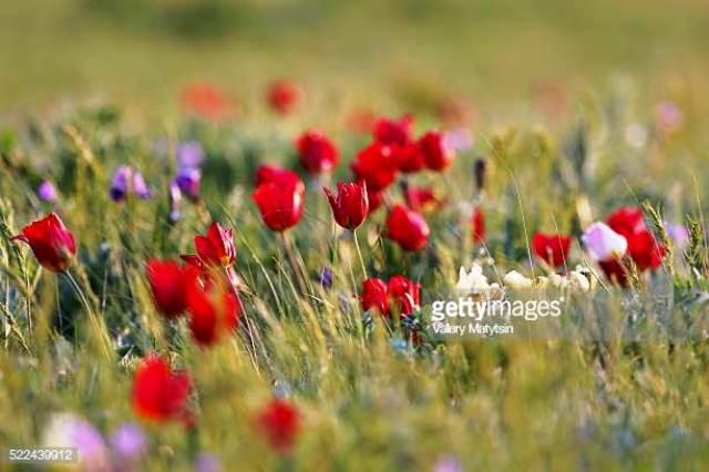 Hoa tulip hoang dã - Biểu tượng sống của thảo nguyên châu Âu - Ảnh 6.