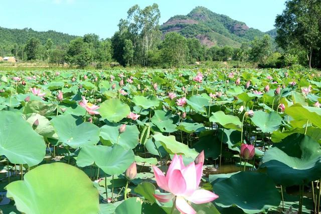 Xua cái nắng hè oi ả ở cánh đồng sen tuyệt đẹp của Quảng Nam - Ảnh 1.