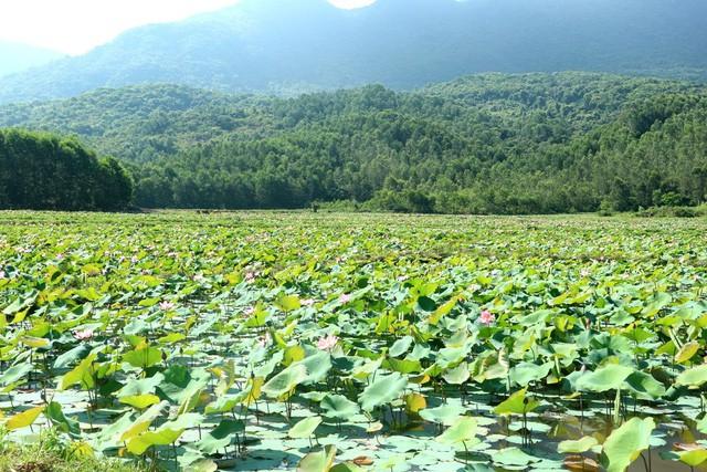 Xua cái nắng hè oi ả ở cánh đồng sen tuyệt đẹp của Quảng Nam - Ảnh 2.