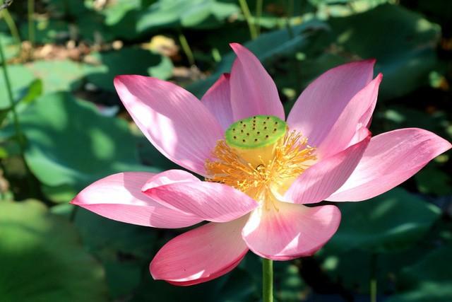 Xua cái nắng hè oi ả ở cánh đồng sen tuyệt đẹp của Quảng Nam - Ảnh 3.
