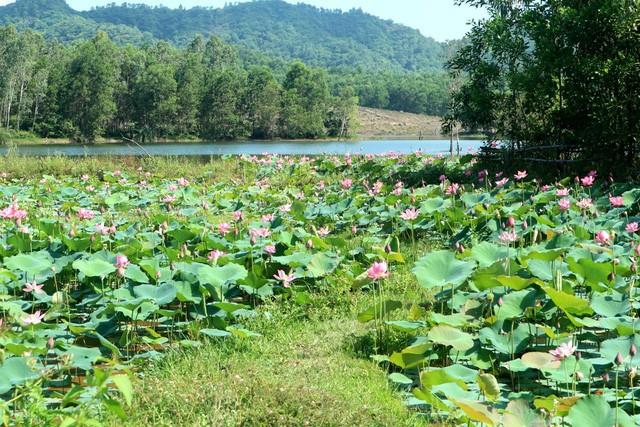 Xua cái nắng hè oi ả ở cánh đồng sen tuyệt đẹp của Quảng Nam - Ảnh 5.