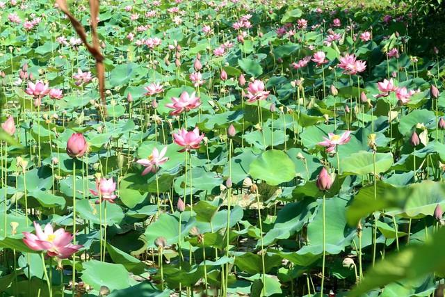 Xua cái nắng hè oi ả ở cánh đồng sen tuyệt đẹp của Quảng Nam - Ảnh 6.