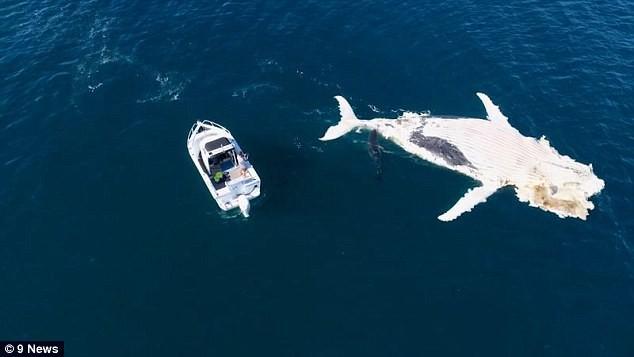 """Bầy cá mập đói thi nhau """"xả thịt"""" cá voi khổng lồ - ảnh 2"""