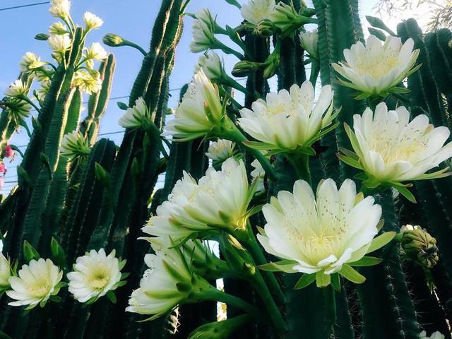Hàng hoa xương rồng đẹp như mơ ở Sóc Trăng gây sốt mạng - Ảnh 2.