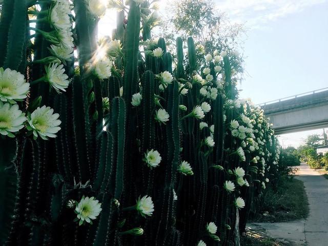 Hàng hoa xương rồng đẹp như mơ ở Sóc Trăng gây sốt mạng - Ảnh 5.