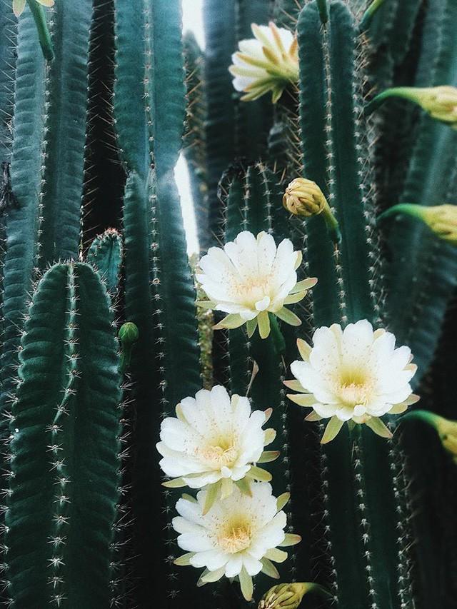 Hàng hoa xương rồng đẹp như mơ ở Sóc Trăng gây sốt mạng - Ảnh 6.