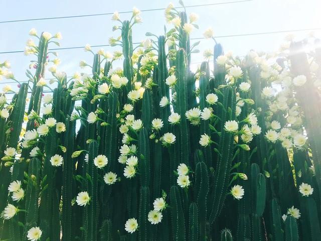 Hàng hoa xương rồng đẹp như mơ ở Sóc Trăng gây sốt mạng - Ảnh 7.