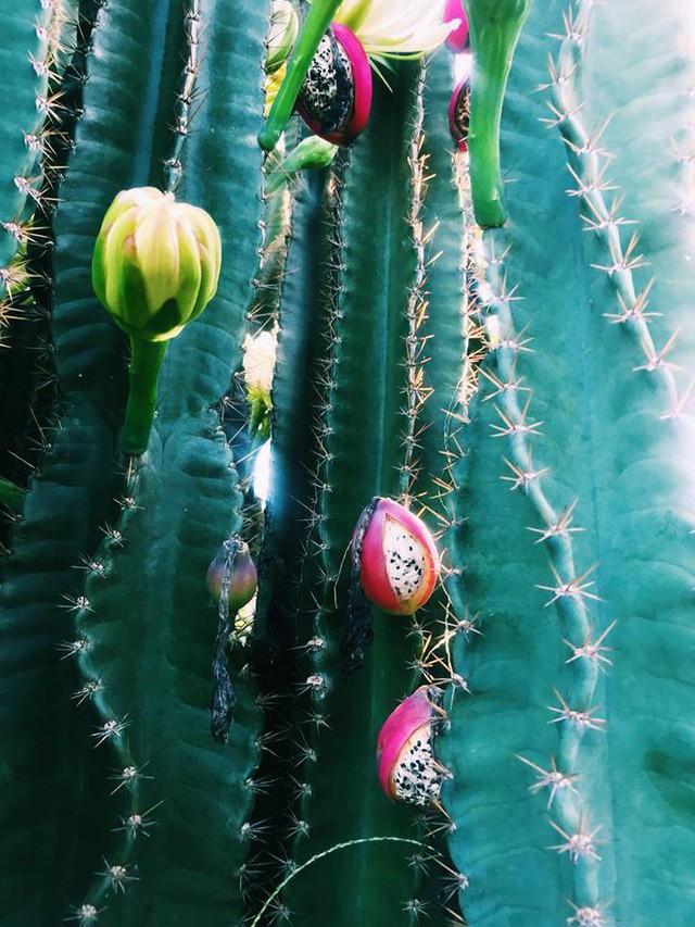 Hàng hoa xương rồng đẹp như mơ ở Sóc Trăng gây sốt mạng - Ảnh 8.