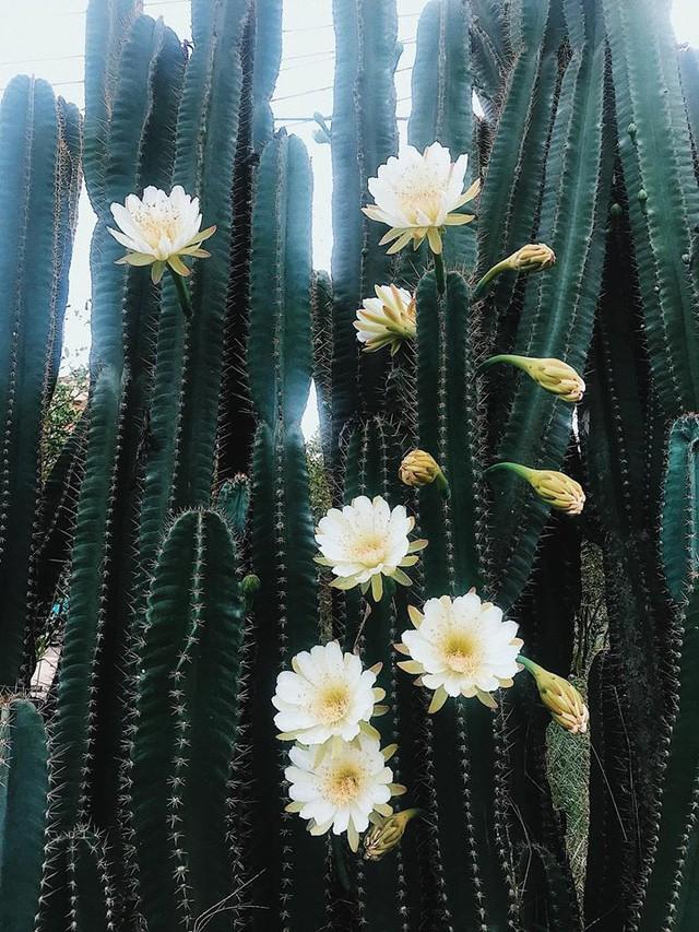 Hàng hoa xương rồng đẹp như mơ ở Sóc Trăng gây sốt mạng - Ảnh 9.