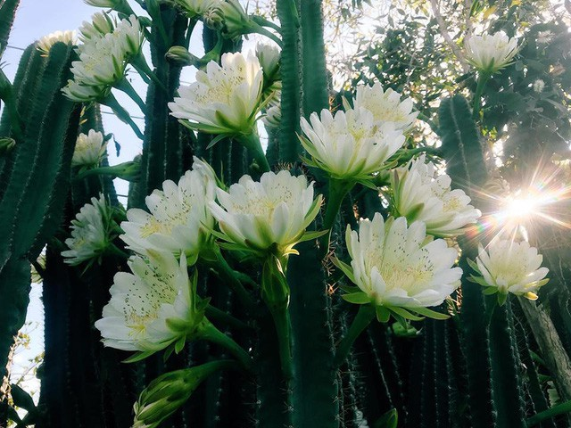 Hàng hoa xương rồng đẹp như mơ ở Sóc Trăng gây sốt mạng - Ảnh 10.