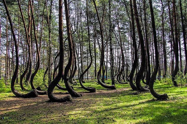 Bí ẩn khu rừng có hàng trăm gốc cây bị uốn cong một cách khó hiểu - Ảnh 1.
