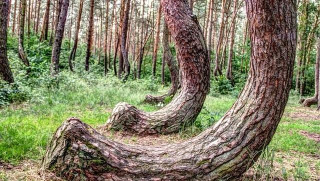 Bí ẩn khu rừng có hàng trăm gốc cây bị uốn cong một cách khó hiểu - Ảnh 2.