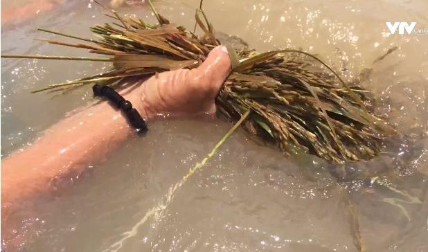 VIDEO: Lũ về nhanh nhấn chìm nhiều diện tích lúa, hoa màu ở  ĐBSCL - Ảnh 1.