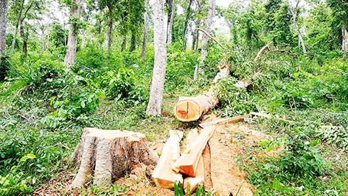 Gia tăng phá rừng căm xe tại Khánh Hòa - Ảnh 1.