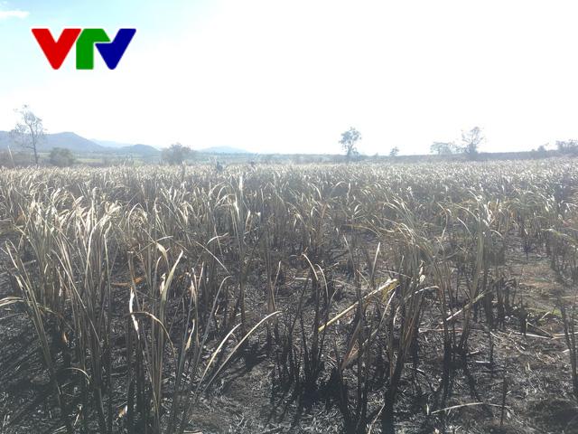 Liên tục xảy ra cháy mía tại Phú Yên - Ảnh 2.