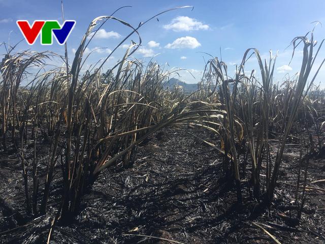 Liên tục xảy ra cháy mía tại Phú Yên - Ảnh 1.