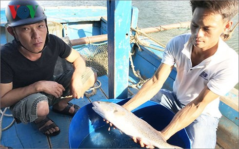 Ngư dân Đà Nẵng câu được cá, nghi là sủ vàng - Ảnh 1.