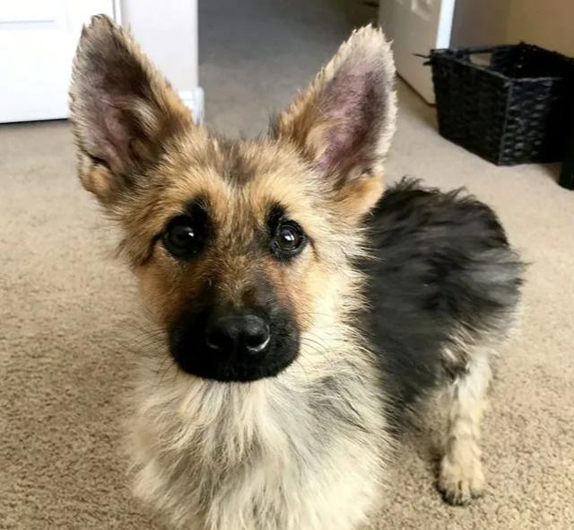 Chó mang gien độc đáo cả đời trông như chú cún con - Ảnh 1.