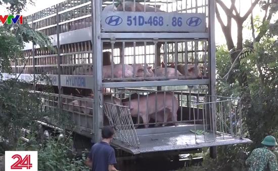 Long An xuất hiện tình trạng nhập lậu lợn từ Campuchia - Ảnh 1.