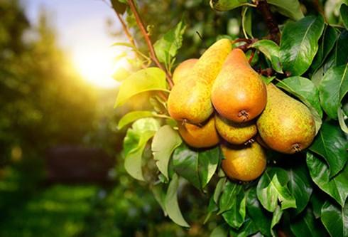 Cách chọn và bảo quản các loại trái cây ngon bạn nên biết - Ảnh 11.