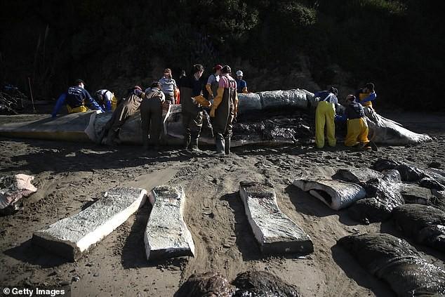 Xác cá voi liên tục trôi dạt vào bờ biển San Francisco vì... chết đói - Ảnh 1.